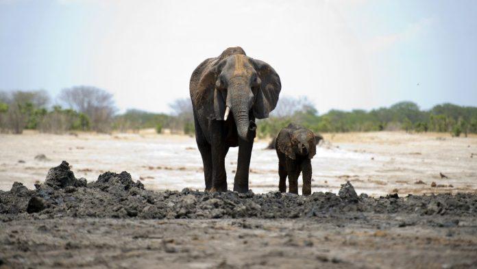 Zimbabwe shoots up to 500 elephants to shoot at