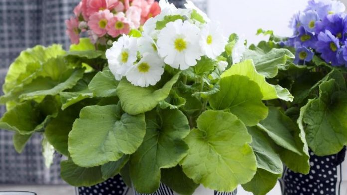 Free time: Plants: This is how the primrose cup blooms for weeks