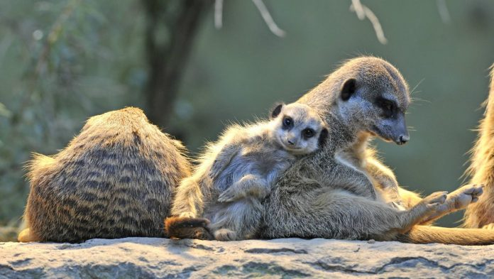 Meerkat and Mongoose: Mongoose Has Offspring at the Same Time - Out of Equity