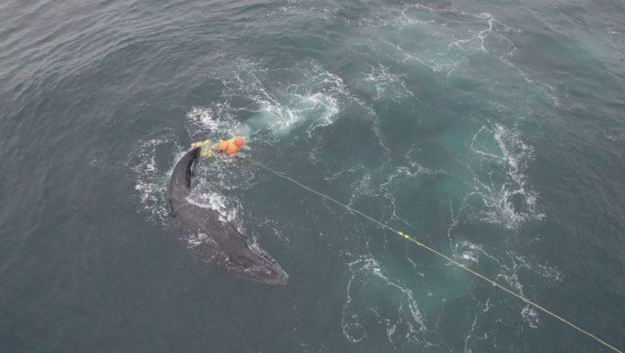 Queensland, Australia: Free humpback whale from shark net
