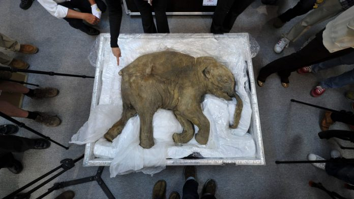 Research: Scientists want to bring the mammoth back to life