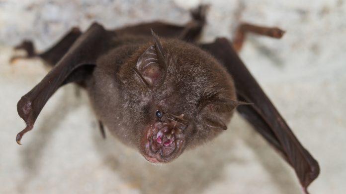 Coronaviruses very close to Covid-19 identified in bats in Laos