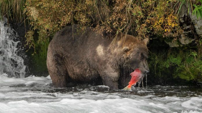 A bizarre competition won: 'Patriarch Decanst' is Alaska's fattest bear